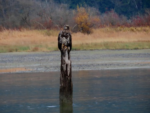 fraser valley bald eagle festival 2019-12.jpg