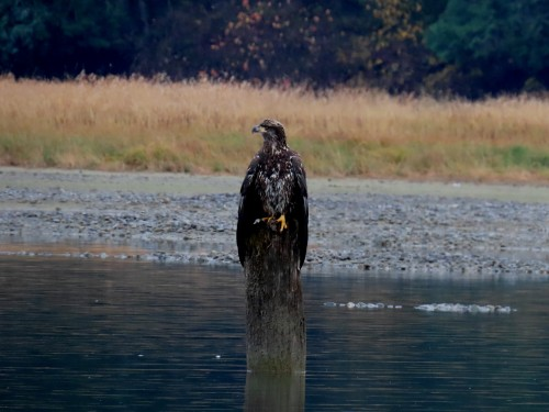 fraser valley bald eagle festival 2019-20.jpg
