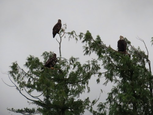 fraser valley bald eagle festival 2019-8jjpg.jpg