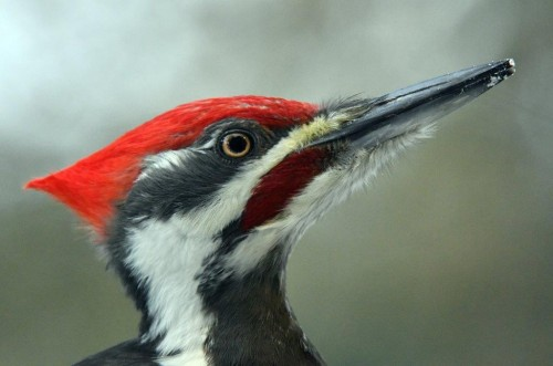 20191207_Pileated_Male.jpg