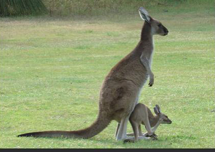 Kangaroo and Joey January 2020.jpg