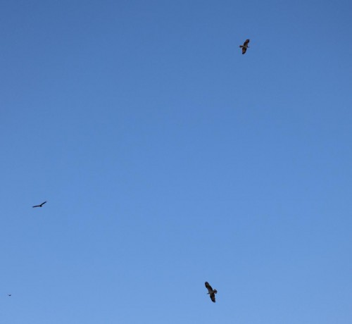 Caloosa 3-28-2020 - Two Osprey & Vulture.jpg