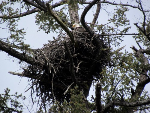 Coles Bay eagle nest Apr 19-2018.jpg