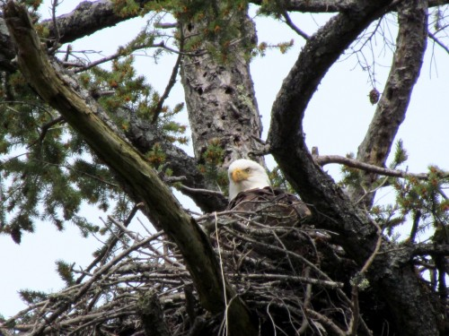 Coles Bay Bald Eagle nest Apr 18-2018.jpg