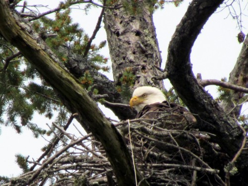 Coles Bay eagle nesting Apr 18-2018.jpg