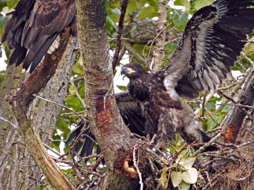029 June 13 Eaglet 1 ready to branch out.jpg