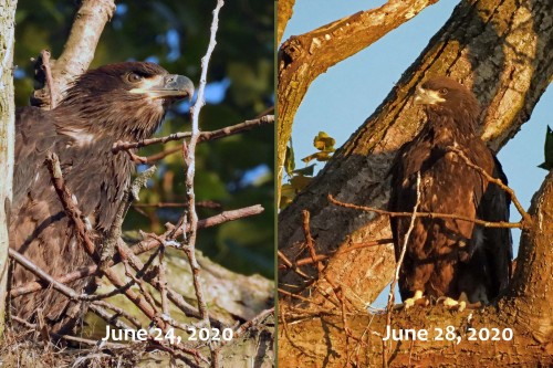 035 June 24 and 28 photos of surviving eaglet.jpg