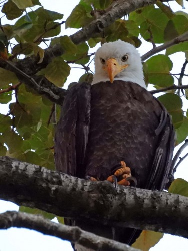 047 Aug 1 Parents waiting for eaglet to return.jpg