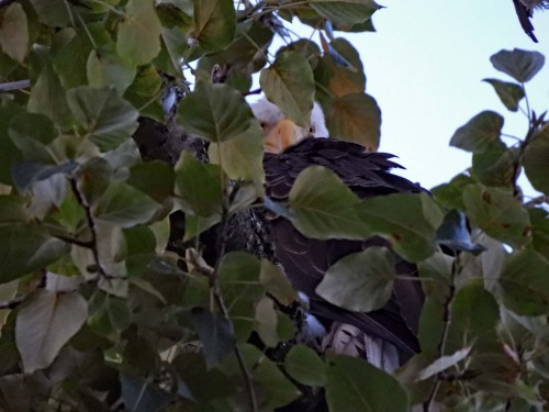 048 Aug 1 Ma appears to be re-united with fledgling eaglet.jpg