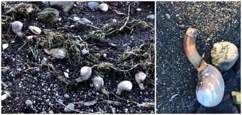 clam photo dual2.jpg
