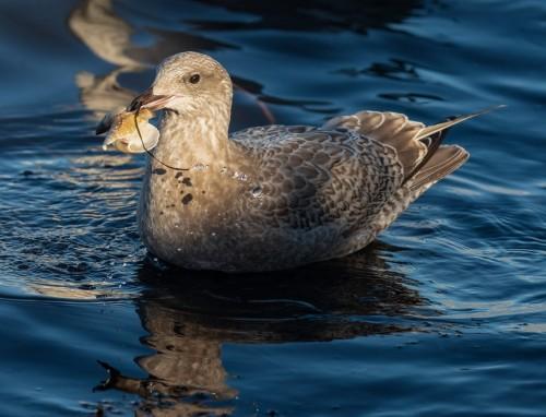 Seagull Horse clam Deborah Freeman.jpg