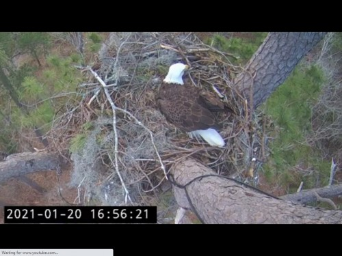 KNF EAGLES 1 20 21 5 58 PM INCUBATING.jpg