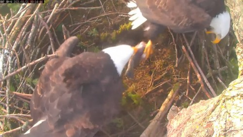hm lady pulling fish from dad he is vocalizing 9 14 jan 21 .jpg