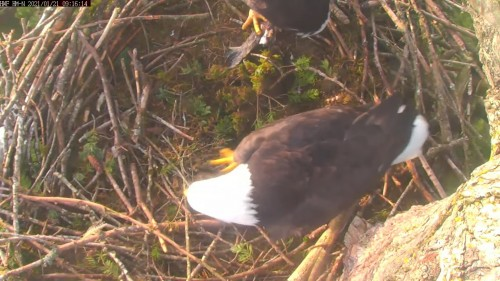 hm dad crossing nest 9 16 jan 21 .jpg