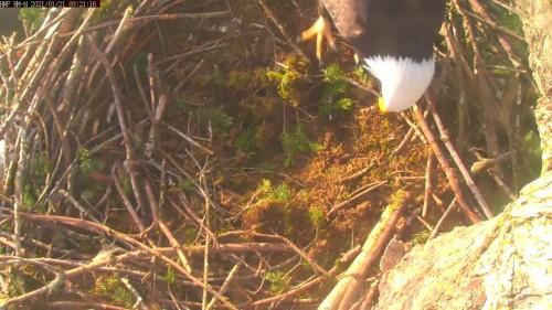hm lady into nest 9 21 jan 21 .jpg