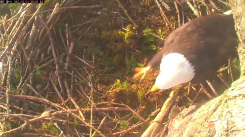 hm lady crossing nest foot 9 23 jan 21 .jpg