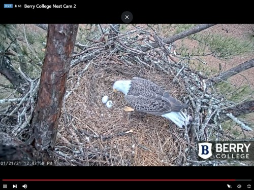 BERRY COLLEGE EAGLES 1 21 21 REWIND DAD GETTING READY TO INCUBATE THE TWO EGGS.jpg