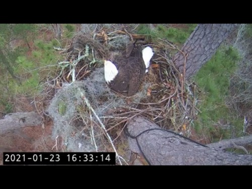 KNF EAGLES 1 22 21 5 34 PM INCUBATING.jpg