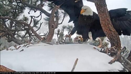 Big Bear Bald Eagle Nest Cam - Page 3 File