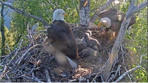 Redding, CA Bald Eagle Cam File