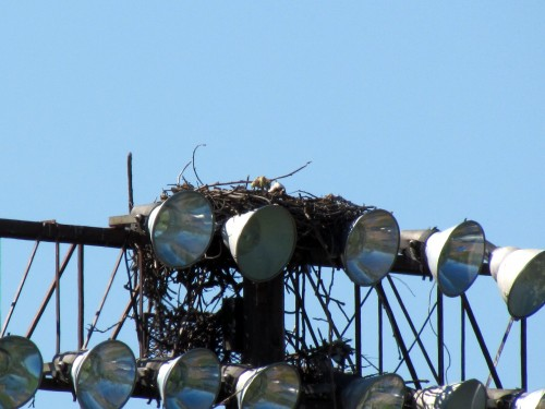 Osprey nest at Royal Athletic Park May 24-2018.jpg