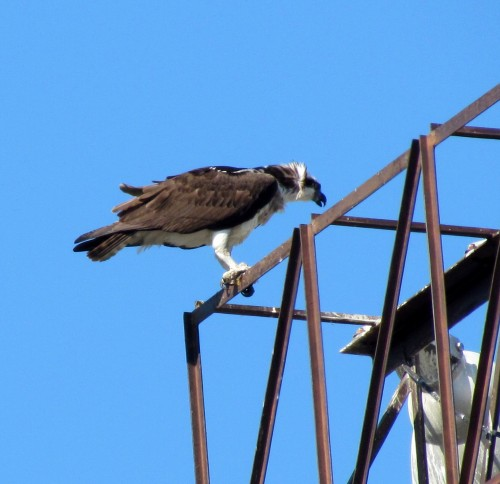 Osprey at Royal Athletic Park May 24-18.jpg