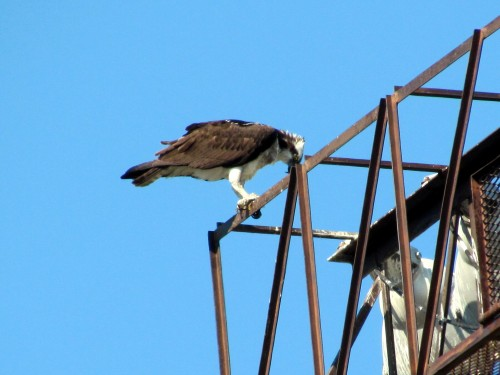 Osprey at Royal Athletic Park May 24-2018.jpg